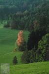 Leuchtende Birke