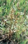 Corallorhiza trifida 01