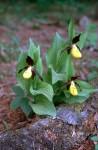 Cypripedium calceolus 02