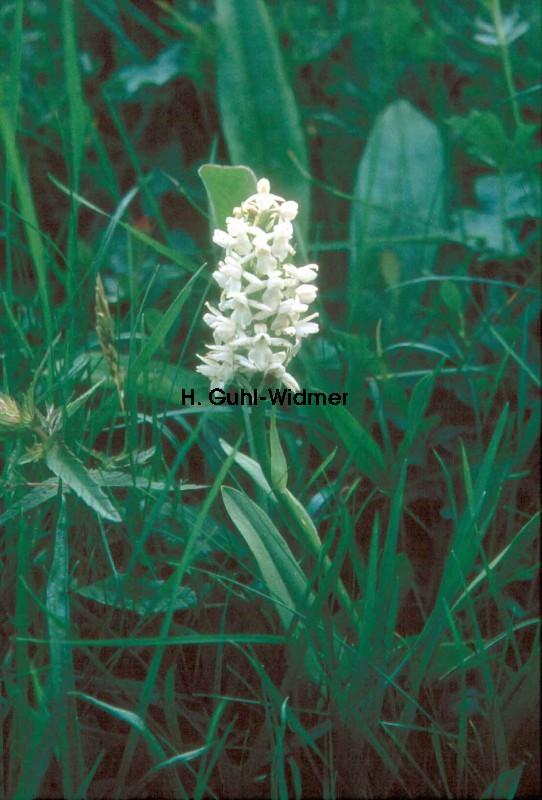 Gymnadenia conopsea Albino
