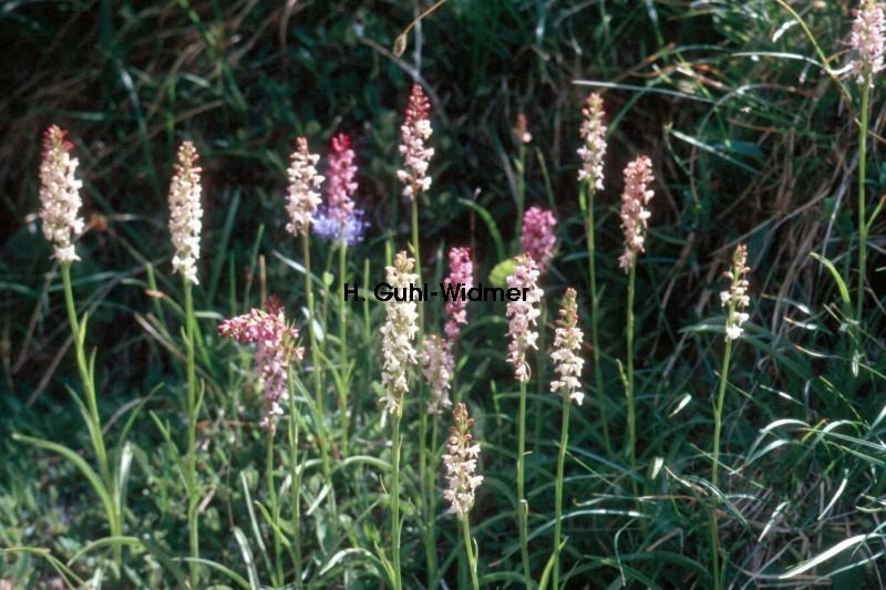 Gymnadenia odoratissima 01