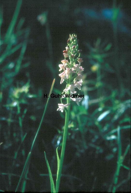 Gymnadenia odoratissima 02