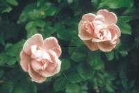 Titelbild des Albums: Rosen