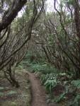 Wald aus Erica arborea, Tenerife, 16.03.08
