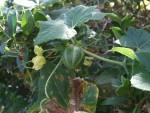 Bryonia verrucosa, Tenerife, 19.03.08