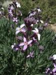 Dichroanthus scoparius, Tenerife, 11.03.08