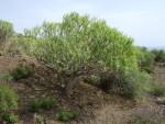Euphorbia balsamifera, Tenerife, 13.03.08