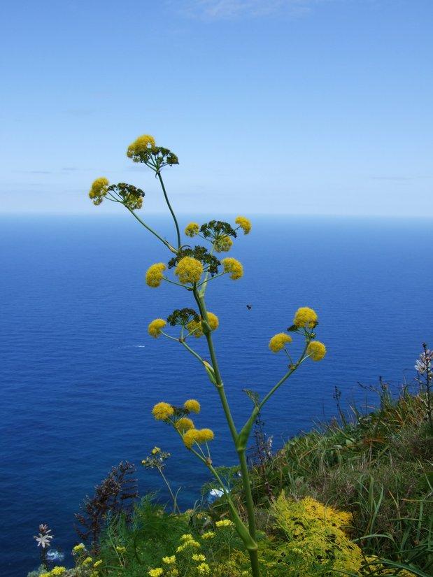 Ferula linkii, Tenerife, 19.03.08