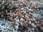 Monanthes laxiflora, Tenerife, 16.03.08