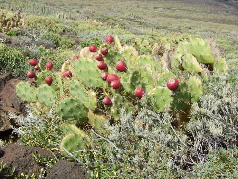 Opuntia dillenii, Tenerife, 14.03.08