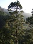 Pinus canariensis, Tenerife, 15.03.08