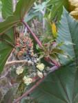 Ricinus communis, Tenerife, 20.03.08