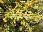 Zygophyllum fontanesii, Tenerife, 13.03.08