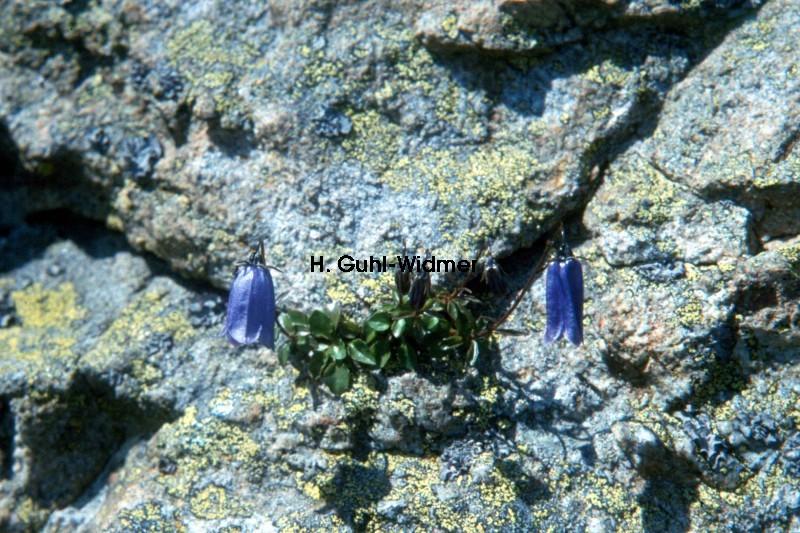 Campanula cochleariifolia 01