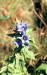 Gentiana asclepiadea 01