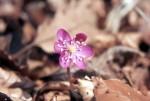 Hepatica nobilis rosa