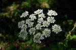 Heracleum sphondylium 01