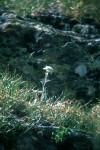 Leontopodium alpinum 01