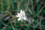 Leontopodium alpinum 02