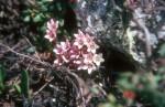 Loiseleuria procumbens 02