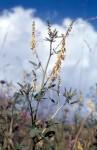 Melilotus officinalis