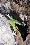 Polypodium vulgare 02