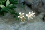Potentilla caulescens