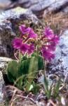 Primula glutinosa 03