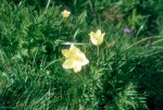 Pulsatilla alpina apiifolia 01