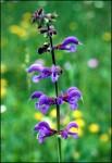 Salvia pratensis 01