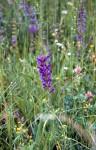 Salvia pratensis 02