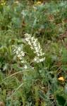 Salvia pratensis Albino