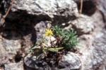 Saxifraga aizoides